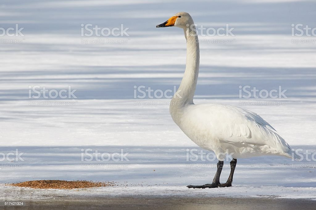 Whooper swan standing on ice stock photo