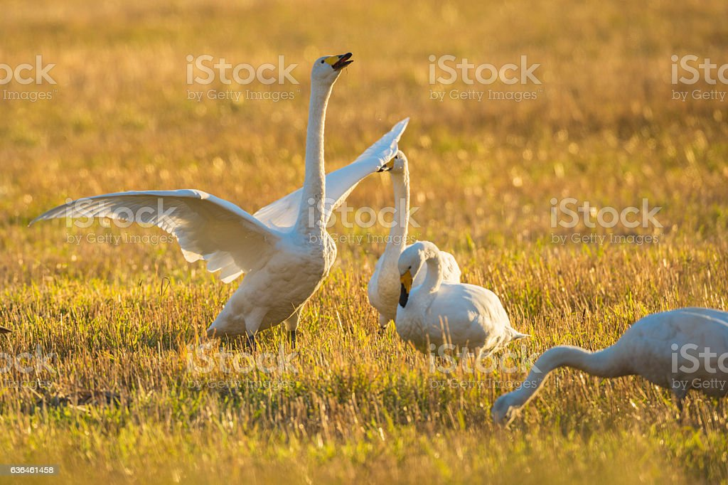 Whooper swans on a field stock photo
