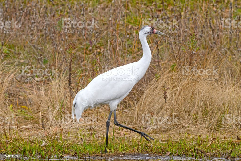 Whooping Crane by a Wetland Pond stock photo
