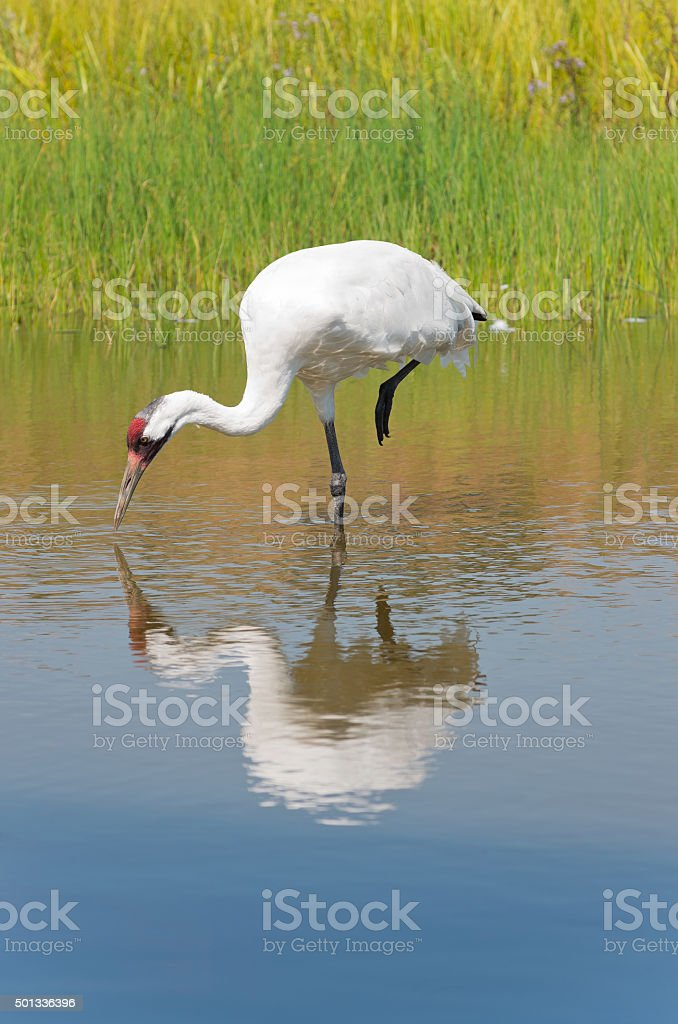 Whooping Crane Foraging for Food stock photo