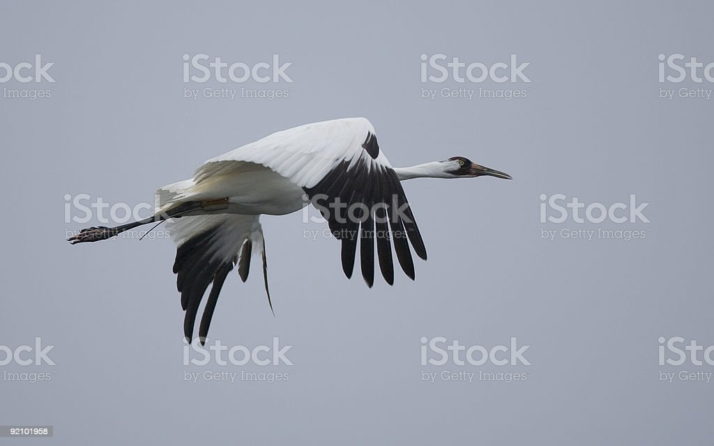 Whooping Crane in flight stock photo