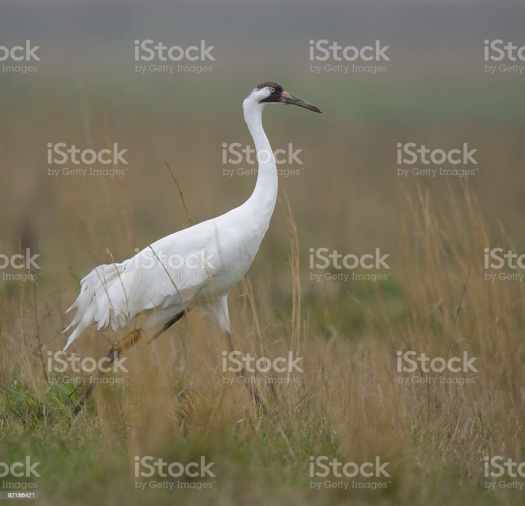 Whooping Crane in the wild. royalty-free stock photo