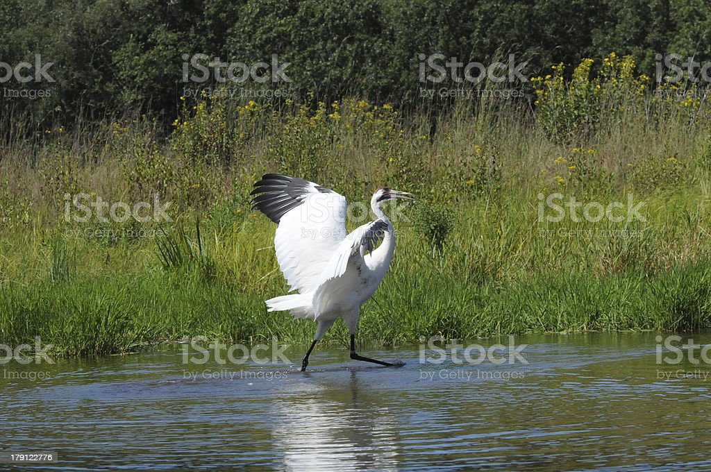 Whooping Crane Mating Dance royalty-free stock photo