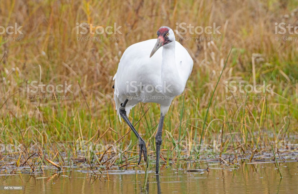 Whooping Crane on the Hunt stock photo