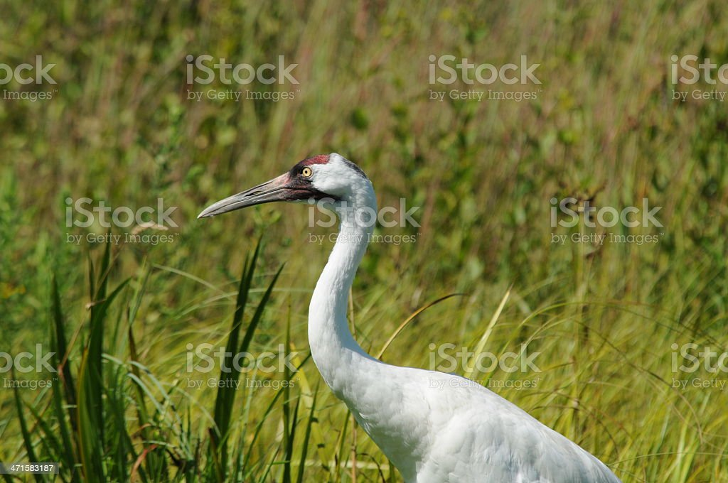 Whooping Crane Standing in Grass royalty-free stock photo