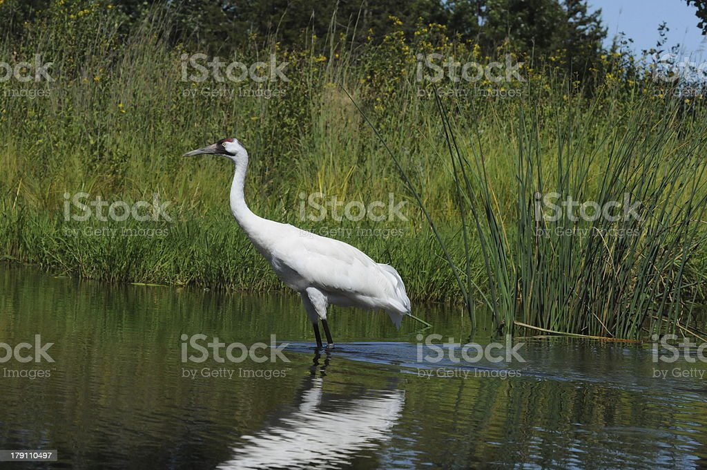 Whooping Crane Standing in Water royalty-free stock photo