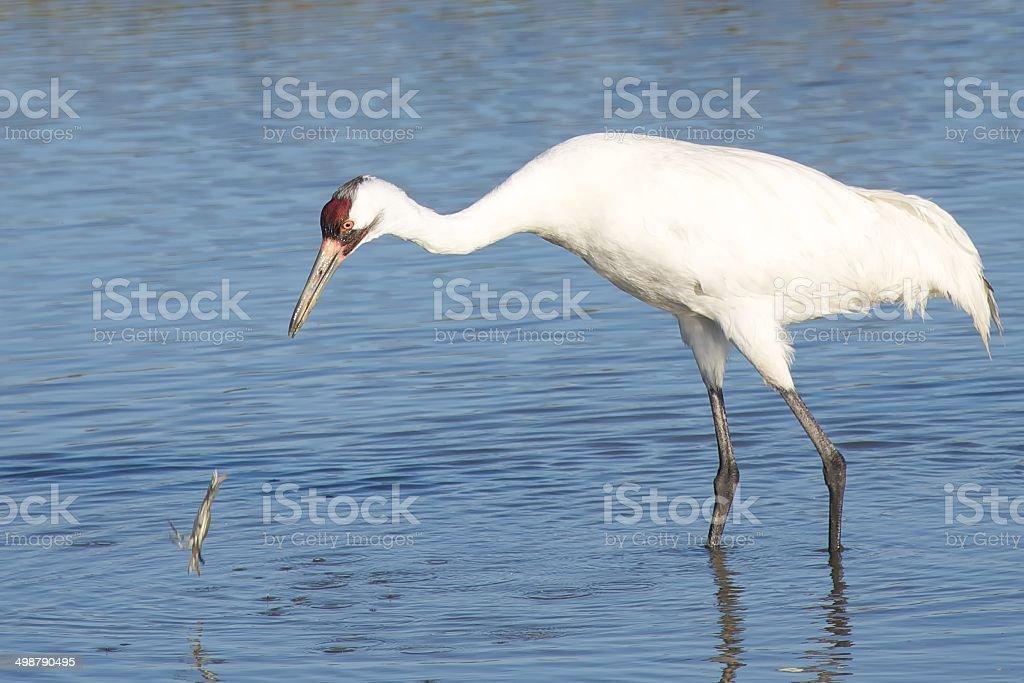 Whooping Crane vs. Crab stock photo