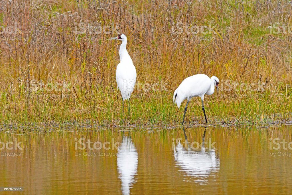Whooping Cranes in a Wetland Pond stock photo