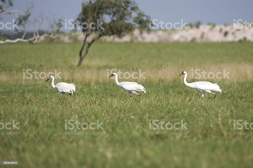 Whooping Cranes in the marshlands. stock photo