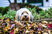 Whoops a Tibetan terrier in the leaf pile