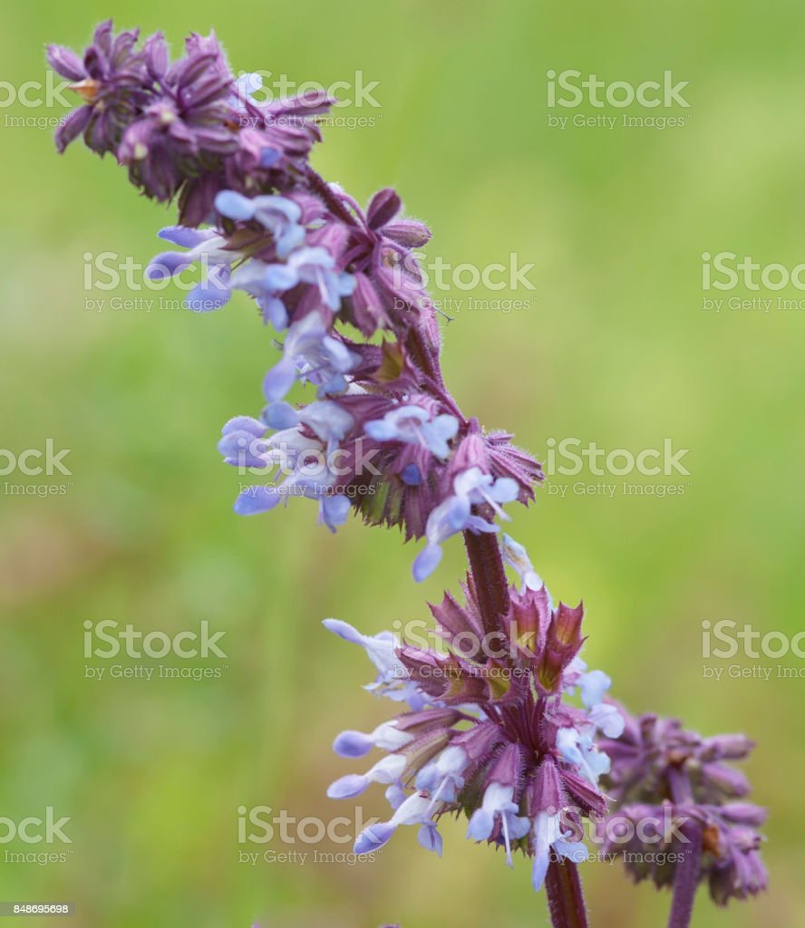 Whorled Clary (Salvia verticillata) stock photo
