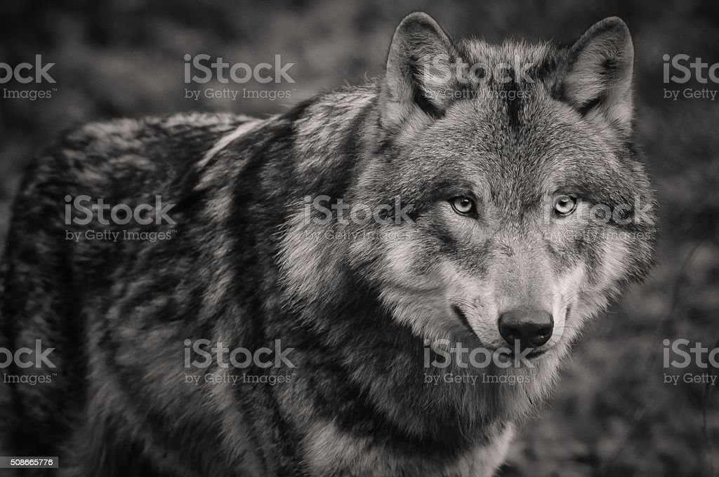 Who's afraid of big bad wolf stock photo