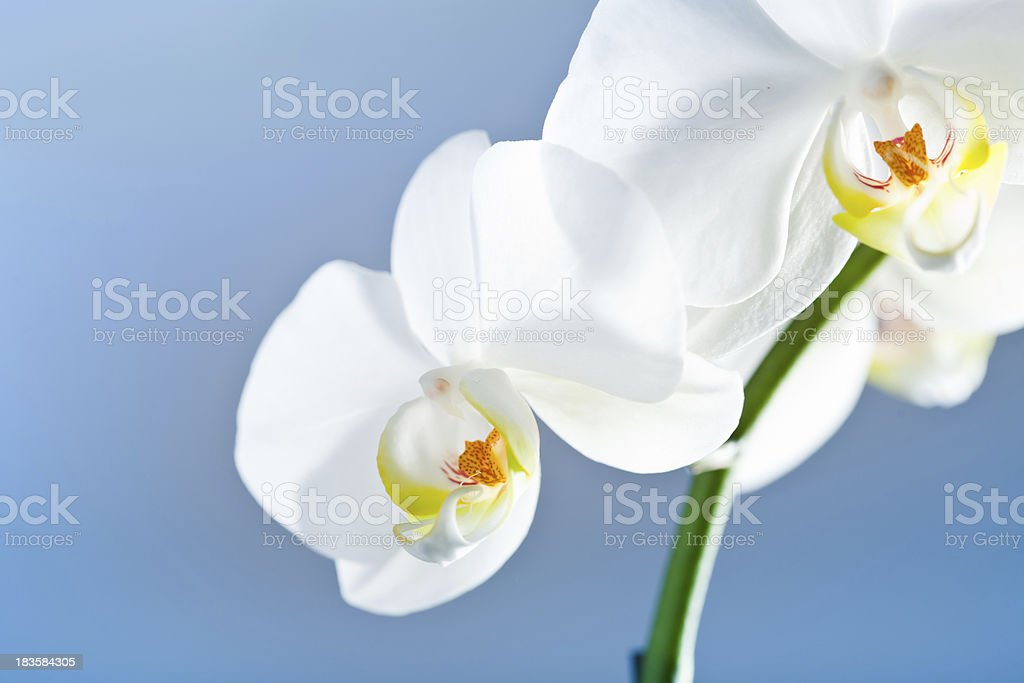 Whte orchid royalty-free stock photo