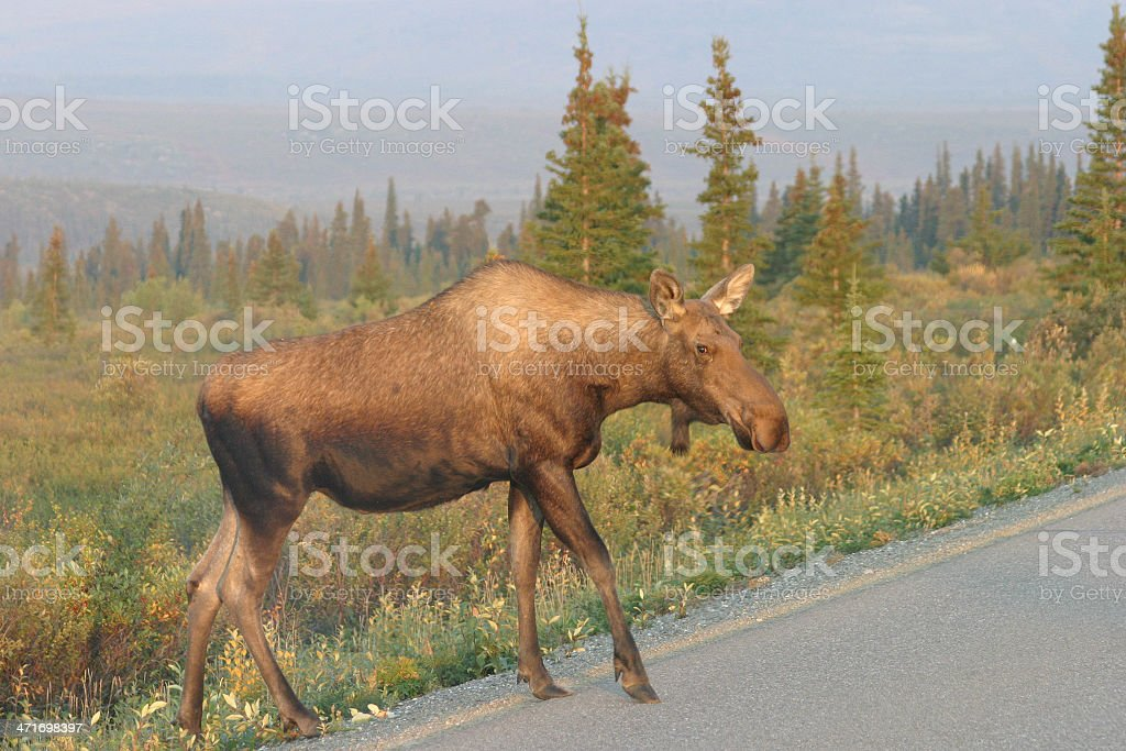 Why Did a Moose Cross the Road? royalty-free stock photo