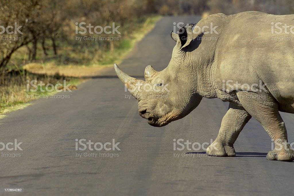 Why did  Rhino cross the road? royalty-free stock photo
