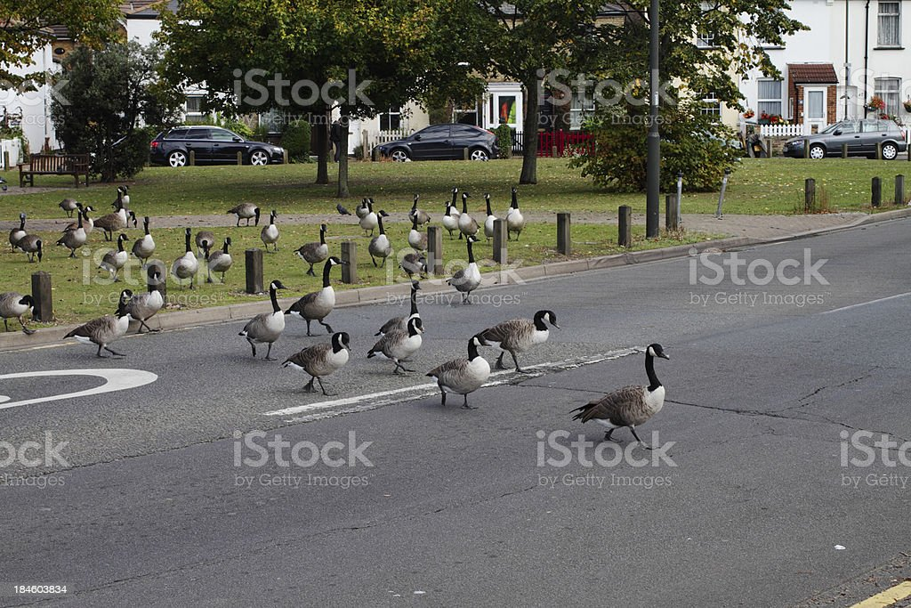 Canada geese goose-stepping traffic stoppers stock photo