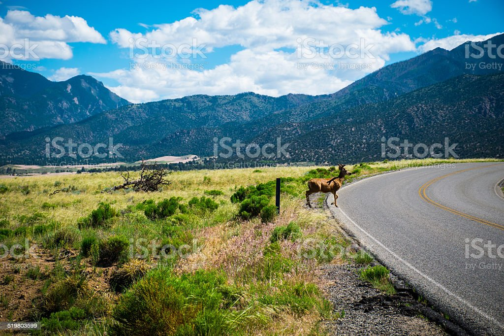 Why did the Elk cross the road? Got elk? stock photo