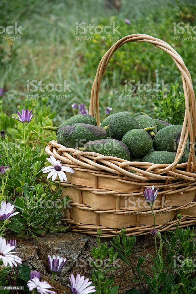 Wicker Basket Of Avacados In Flower Garden stock photo