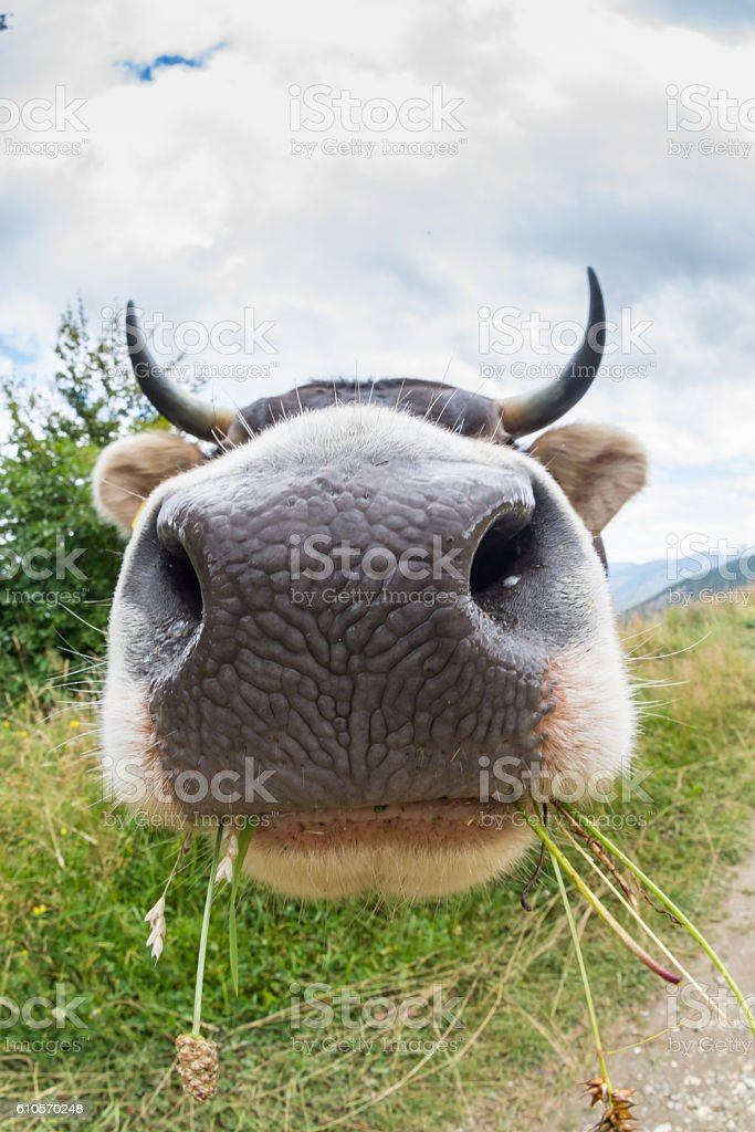 Wide angle cow with big nose and horns is funny stock photo