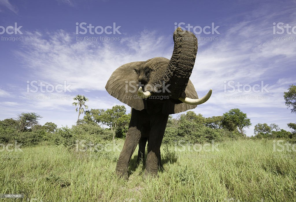 Wide Angle Elephant royalty-free stock photo