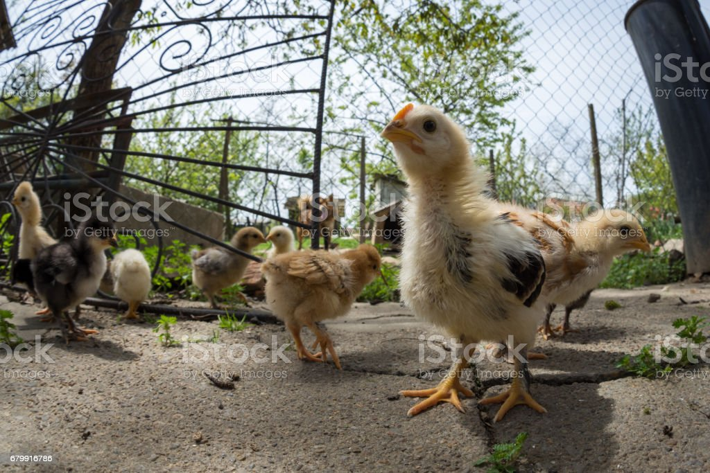 Wide angle of a baby chicken in a rural farm stock photo