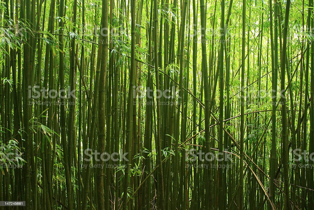 Wide Angle of Bamboo Forest royalty-free stock photo