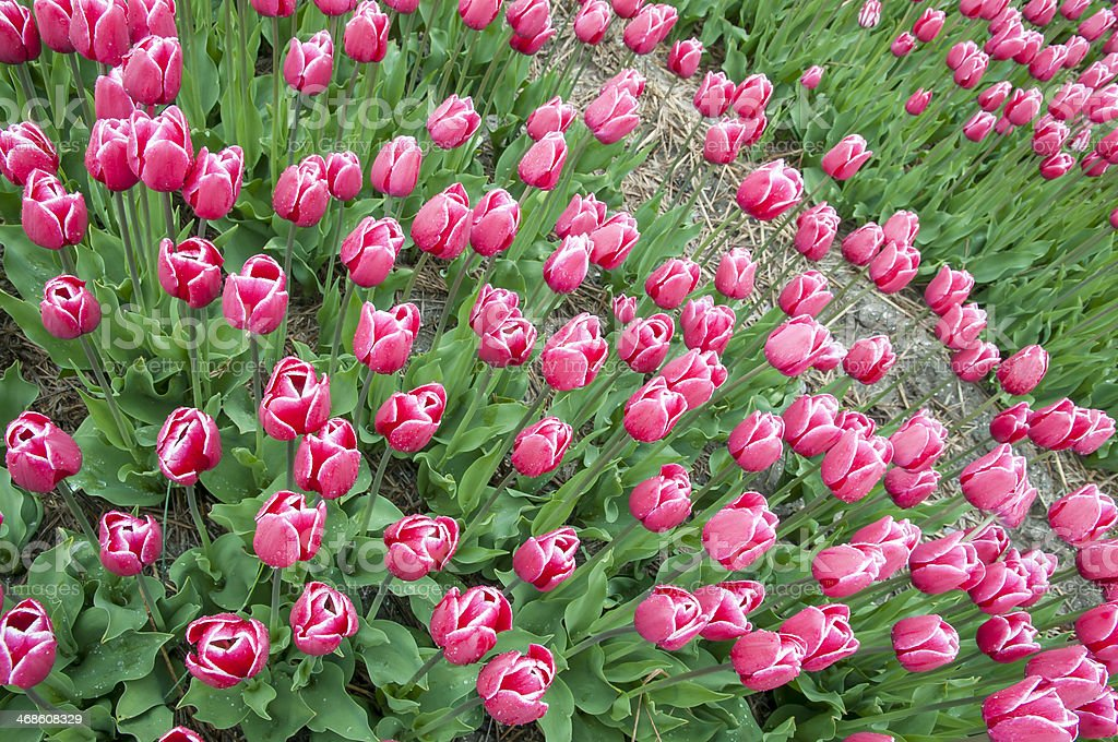 Wide angle of pink tulips royalty-free stock photo
