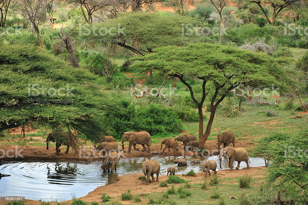 Wide angle photograph of some grey elephants at a waterhole royalty-free stock photo