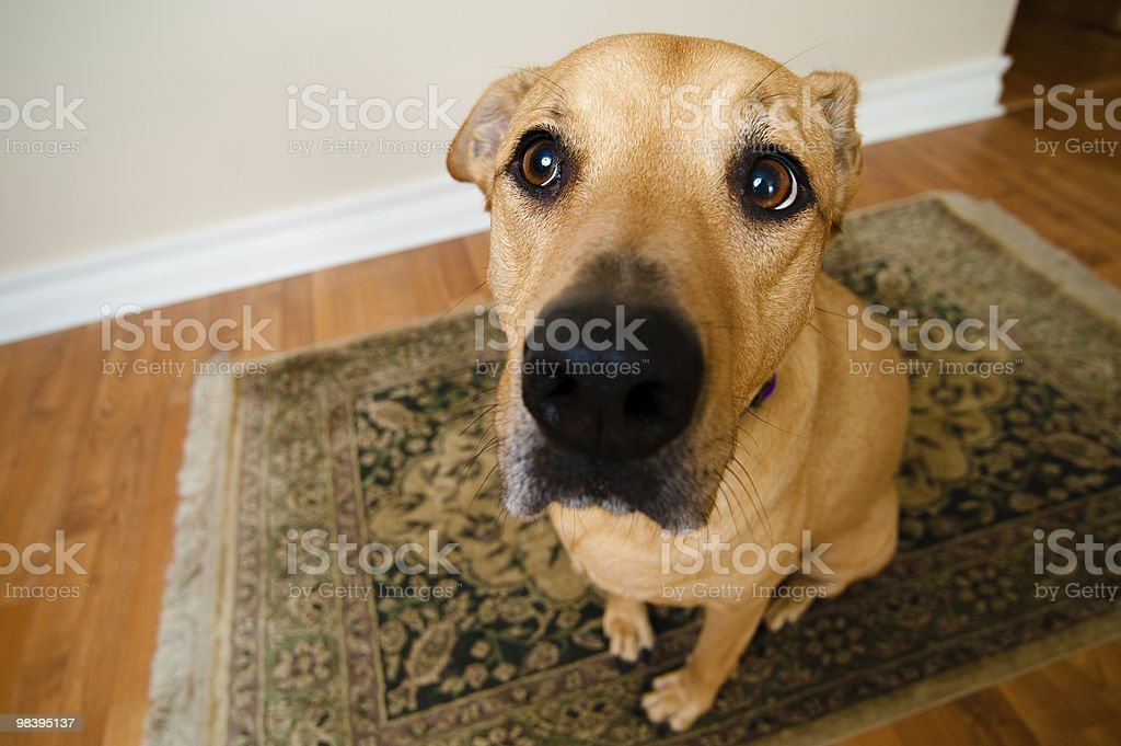 A wide angle shot of a big dog inside of home stock photo