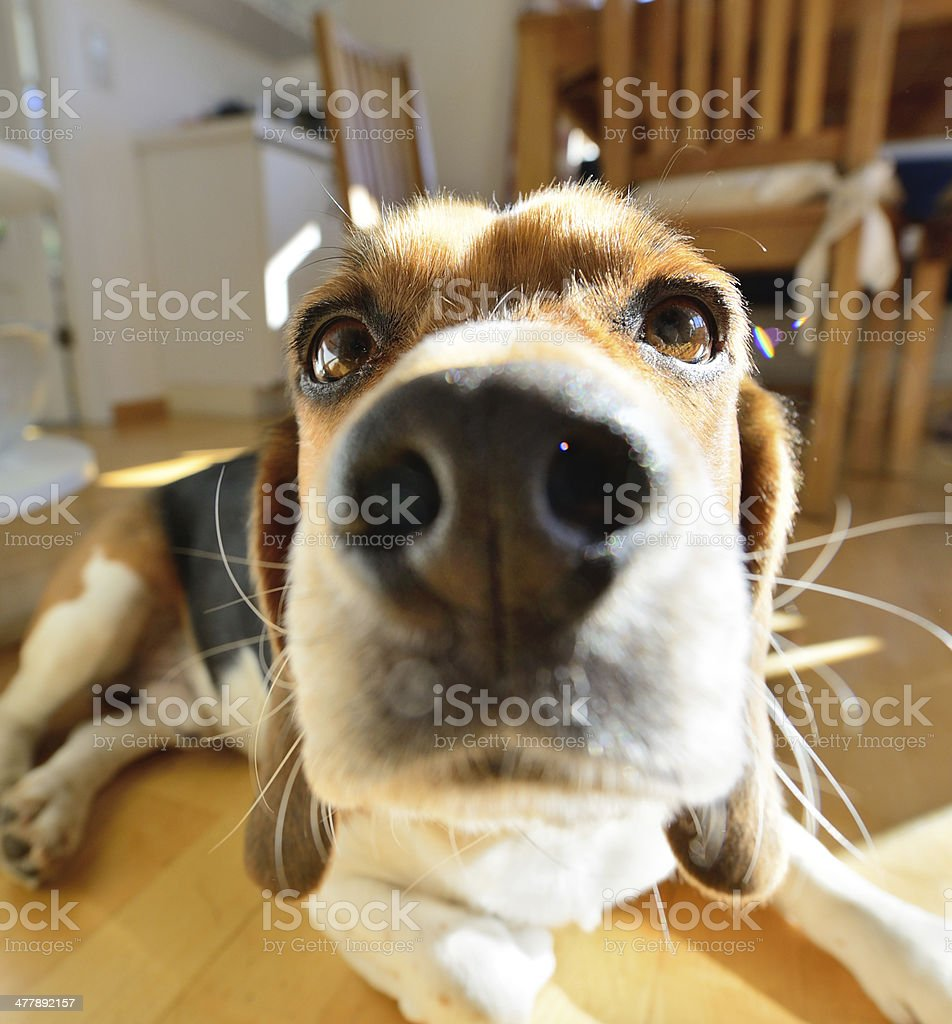 Wide angle shot of young beagle dog, head sunlit royalty-free stock photo