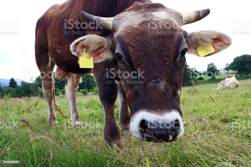 Wide angle view of a male brown cattle stock photo