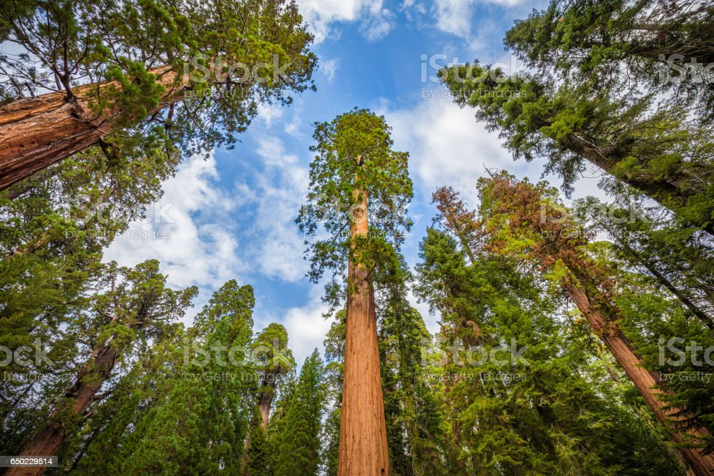Wide angle view of famous giant sequoia trees in Sequoia National Park, California, USA stock photo