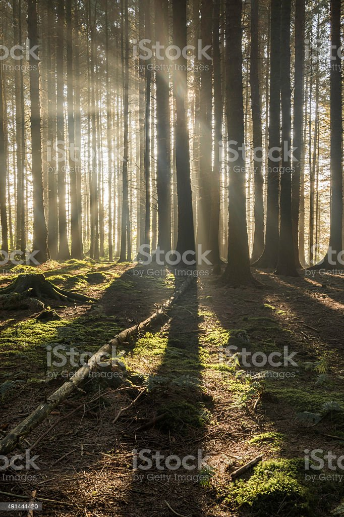 Wide Angle View Of Misty Forest With Long Shadows. stock photo