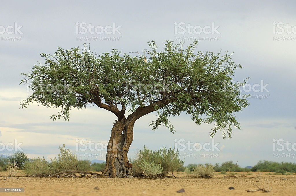 A wide branched mesquite tree growing out of the sand stock photo