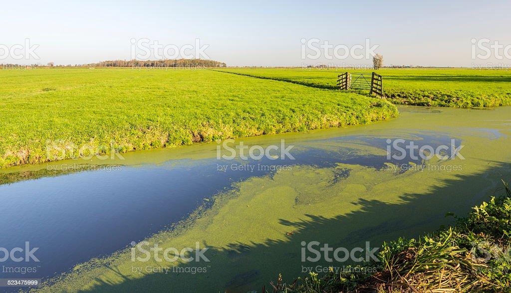 Wide ditch covered with floating Common Duckweed stock photo
