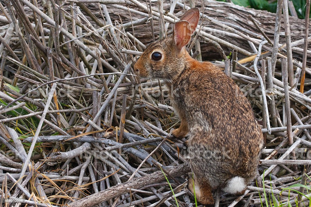 Wide eyed cottontail rabbit. stock photo