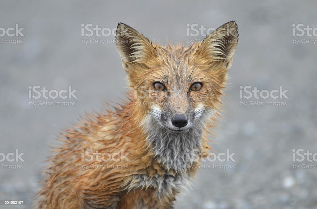 Wide eyed young red fox. stock photo