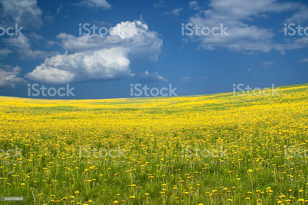 Wide field with yellow flowers and blue sky stock photo