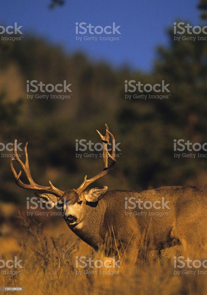 Wide Mule Deer Buck stock photo