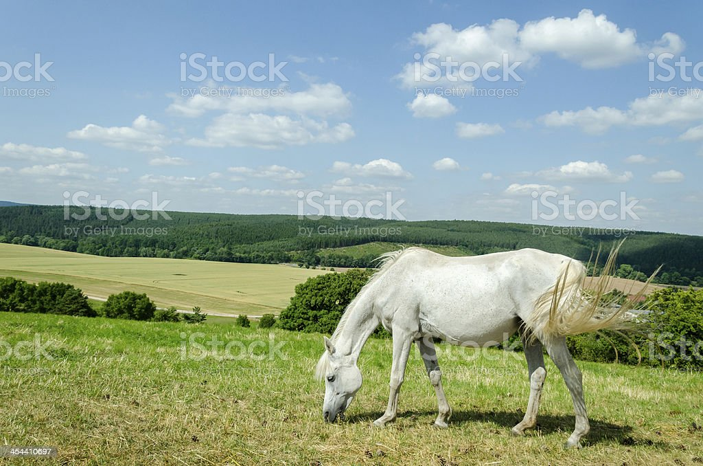 wide pasture with grazing arabian horse royalty-free stock photo