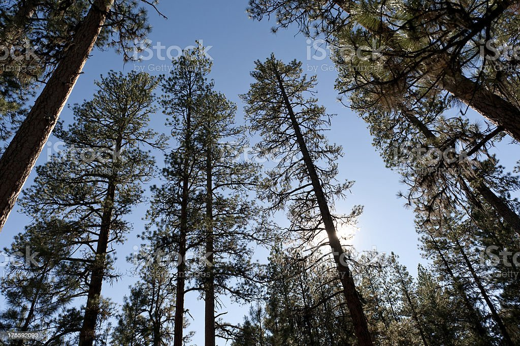 Wide Pines stock photo