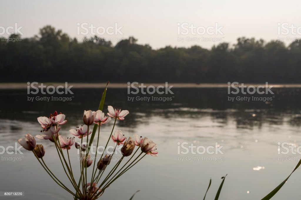 Wide river flowing across green forest. Fall. Evening. Reflections of trees in the calm water. Sundown. Flowering rush blooming stock photo