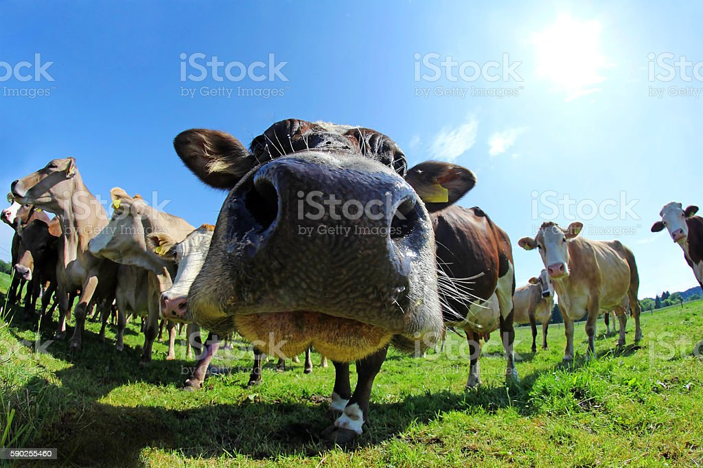 Wide Shot of Brown Swiss and Simmental stock photo
