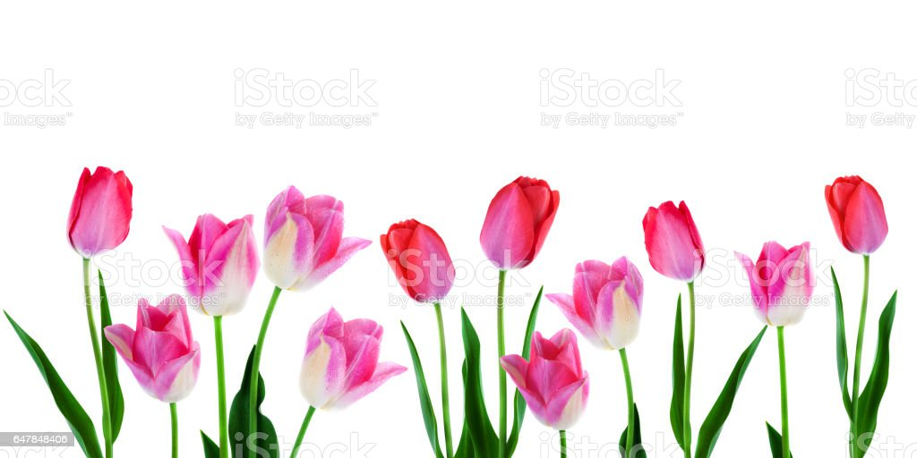 Wide spring flowers border pink tulips with leaves in a row isolated on white background copy space stock photo