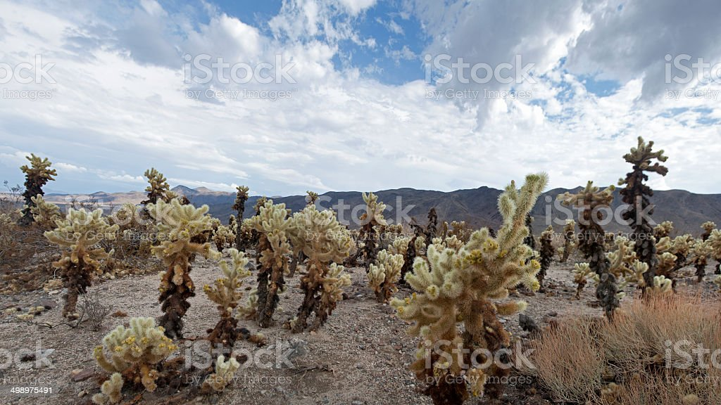 Wide view of Cholla Patch, Joshua Tree National Park stock photo