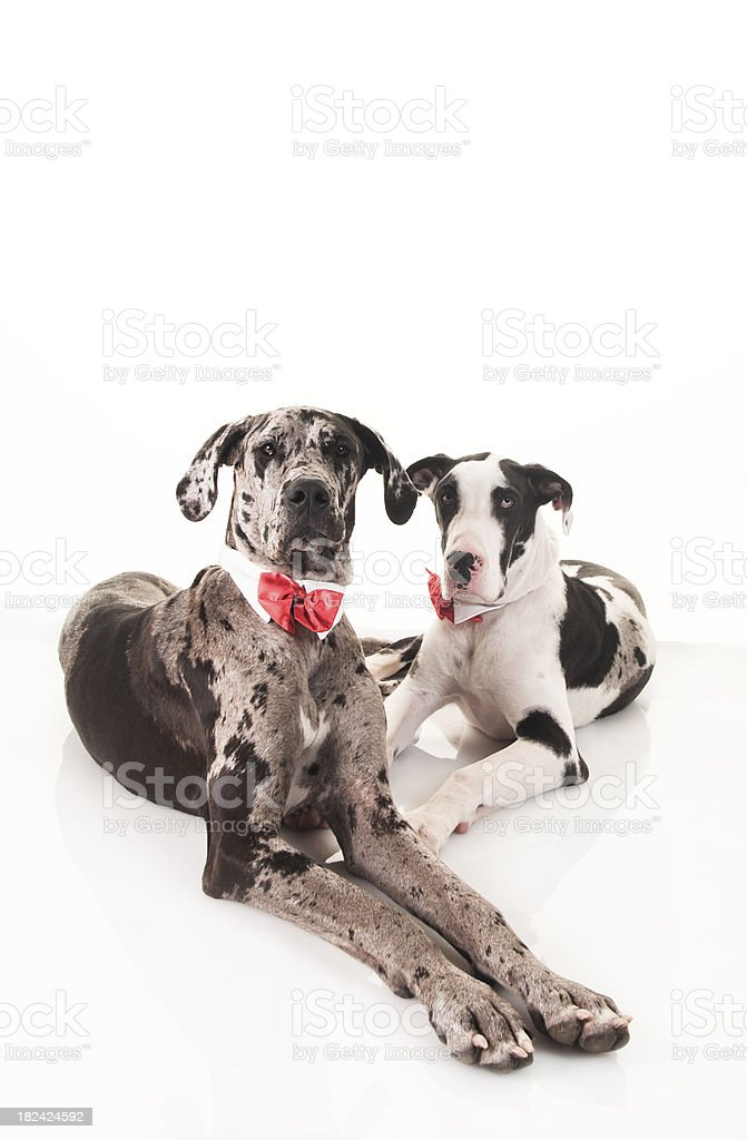 Wide-Angle Close-Up Studio Shot of Two Great Danes stock photo