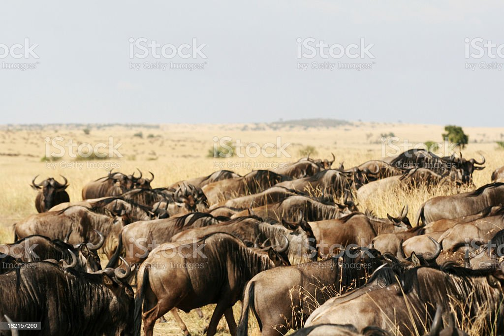 Widebeast stock photo