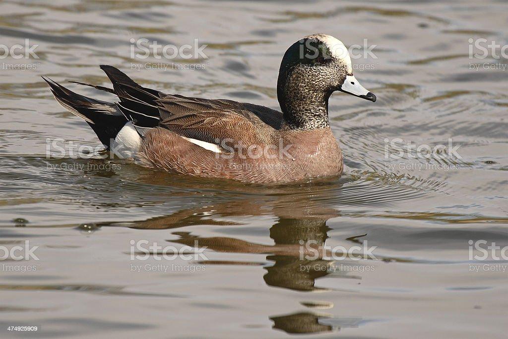 Widgeon Drake Swimming stock photo