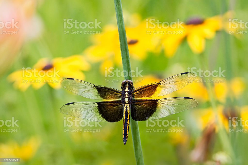 Widow Skimmer Dragonfly royalty-free stock photo