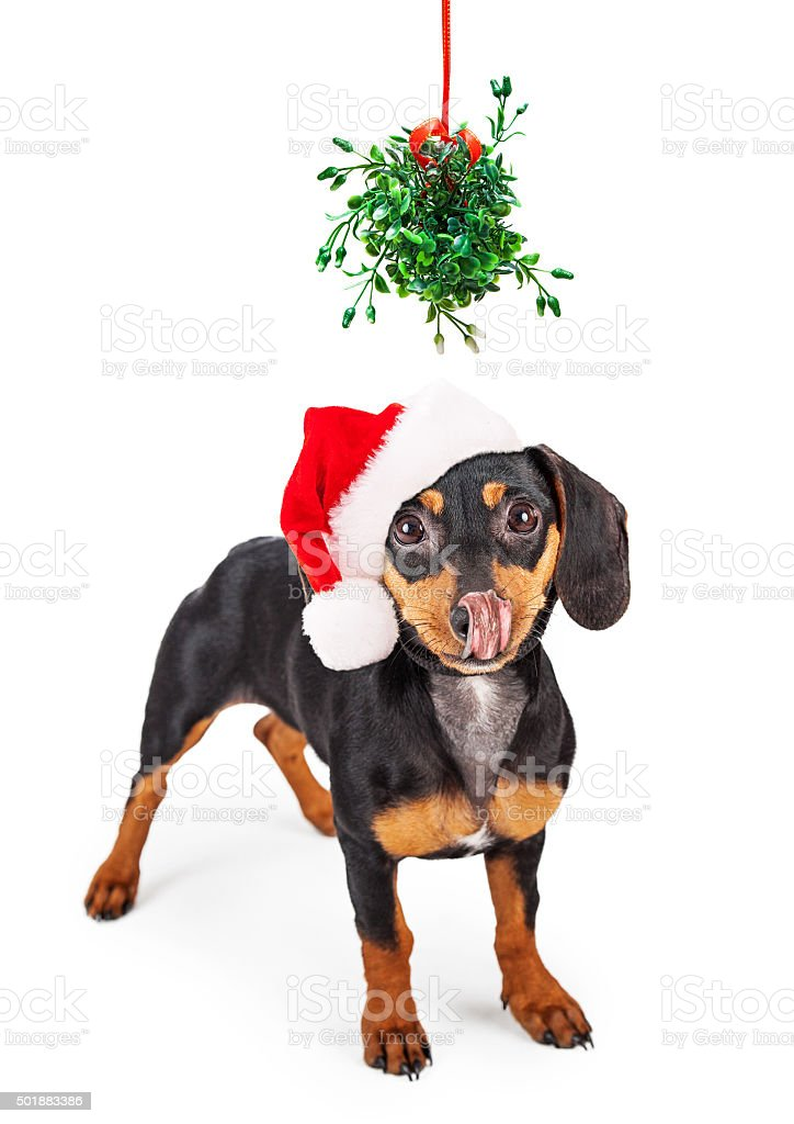 Wiener Dog Kiss Under Mistletoe stock photo